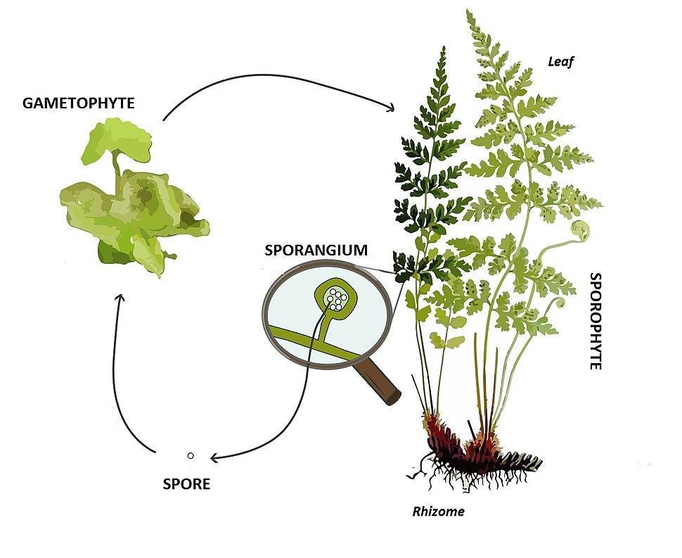 Pteridophyte lifecycle