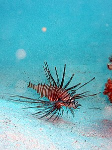 Pterois radiata longhorned lionfish.JPG