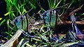 "Pterophyllum scalare - ""Rio Nanay"" - souche sauvage - Aqua Porte Dorée 02.JPG"