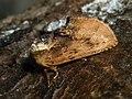 Ptilodon capucina - Coxcomb prominent - Хохлатка липовая (39330201970).jpg