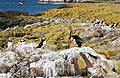 Puffins at rest on Staple Island with Brownsman beyond - geograph.org.uk - 1371388.jpg