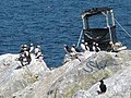 Puffins on Eastern Egg Rock.jpg