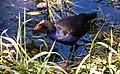 Pukeko in The Heathcote. Opawa (50774520636).jpg