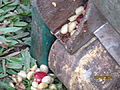 Pulped coffee berries.JPG