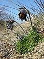 Pulsatilla pratensis (subsp. nigricans) sl38.jpg
