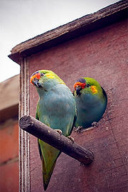 Purple-crowned Lorikeet (Glossopsitta porphyrocephala) -pair -nesting box-2p