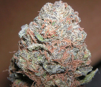 Cannabis strains - A head of Purple Kush