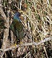 Purple gallinule (6884795731).jpg