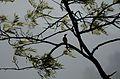 Pycnonotus jocosus Red-whiskered bulbul from anaimalai hills JEG7988.jpg