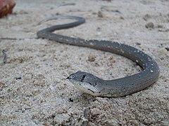 Pygopus lepidopodus 1.jpg