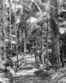 Queensland State Archives 225 Bush land between Eumundi and Noosa Heads c 1931.png