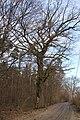 Quercus robur Marki 3.JPG