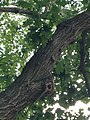 Quercus rubra (Red Oak) C34-2.jpg