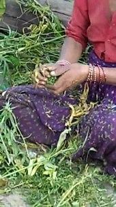 Dosiero: Récolte de La résino de kanabo, Uttarakhand, Inde.ogv