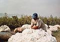 Récolte du coton à El Carmen - Pérou 01.JPG