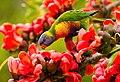 Rainbow Lorikeet with Red Silk Cotton Flowers - AndrewMercer - IMG15404.jpg