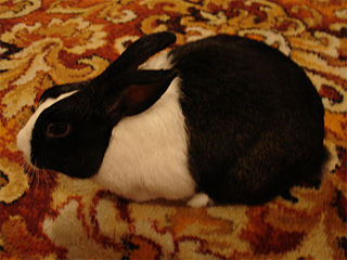 Dutch rabbit rabbit breed