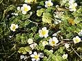 Ranunculus aquatilis (flowers).jpg