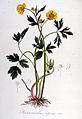 Ranunculus repens — Flora Batava — Volume v6.jpg