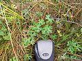 Ranunculus undosus leaf1 NWP - Flickr - Macleay Grass Man.jpg