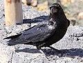 Raven 2 (3304074497).jpg