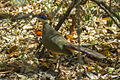 Red-capped Coua - Ankarifantsika - Madagascar MG 2315 (15272029426).jpg