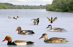 Red-crested Pochard from the Crossley ID Guide Britain and Ireland