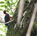 Red-necked Woodpecker (Campephilus rubricollis) male (39685195065).jpg