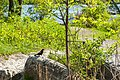 Red-winged blackbird (41446169015).jpg