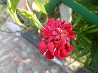 Red Flower at Bakkhali.jpg
