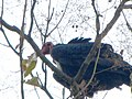 Red Headed Vulture Raptor.jpg
