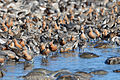 Red Knot (4035548852).jpg