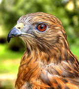 Red Shouldered Hawk portrait.jpg