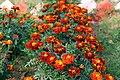 Red marigold.jpg
