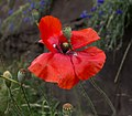 Red poppy in Aspen (91258)a.jpg
