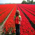 Red tulips - panoramio.jpg