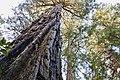 Redwood bark MG 2647.jpg