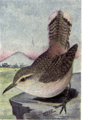 Reed-rock-wren.png