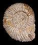 Reineckeia eusculpta 01.JPG