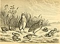 Reptiles and birds - a popular account of the various orders; with a description of the habits and economy of the most interesting (1869) (14748511502).jpg