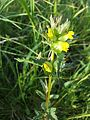 Rhinanthus minor sl1.jpg