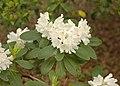 Rhododendron 'Boule de Neige' White Flowers.JPG