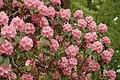 Rhododendron 'Scintillation' Bush.JPG