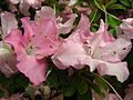 Rhododendron 'Yablonka' 02.JPG
