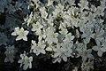 Rhododendron (28207731818).jpg