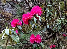 Rhododendron Wikipedia