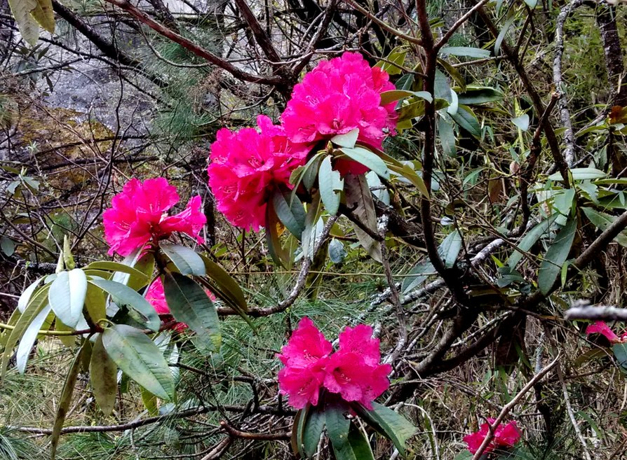 Rhododendron at Fakding, Nepal