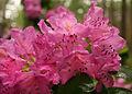 Rhododendron catawbiense v2.jpg