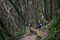 Rhododendron forest near Tarapani (4525917050).jpg