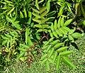 Rhus sandwicensis (5210101724).jpg